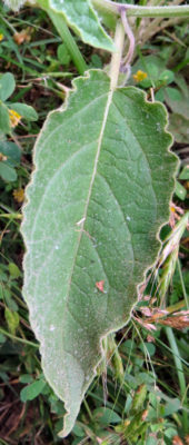 downy ground cherry leaf