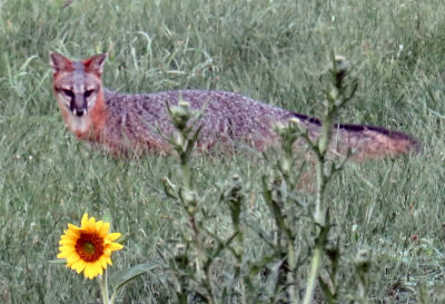 gray fox hunting