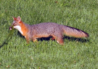 gray fox walking