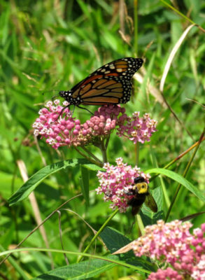 Exploring wetlands finds Monarch Butterflies