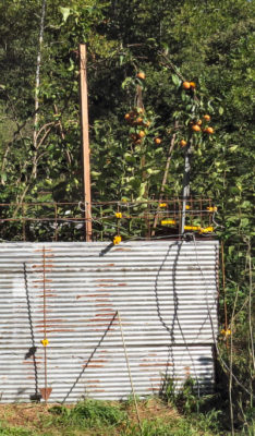 raccoons don't like electric fence