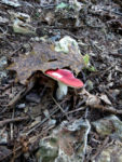 hunting mushrooms finds red caps