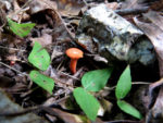 small orange mushrooms