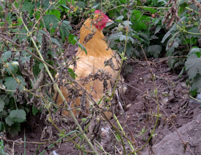 the target hen for taking chicken pictures