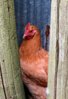 taking chicken pictures of hiding hen