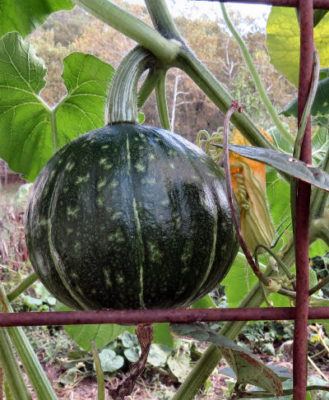 kabocha winter squash