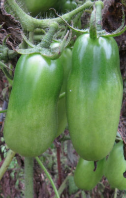 fall decisions about tomatoes