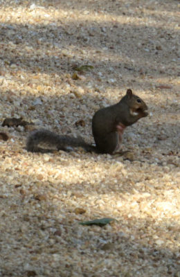 squirrels like persimmons and black walnuts