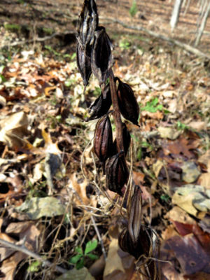 Adam and Eve Orchid seed pods