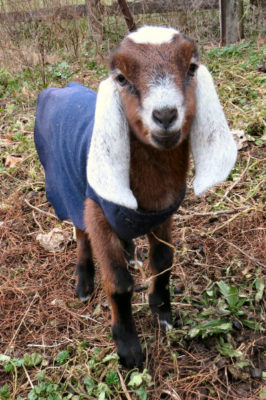 brown doe kid of winter goat kids