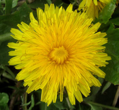 dandelion first flowers
