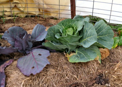 changing climate lets cabbage grow in winter