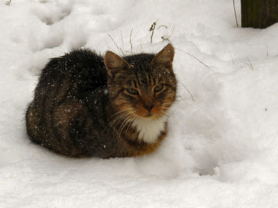 Tyke cat warm in winter fur coats