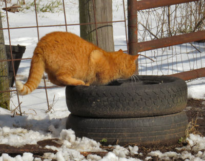 Orange Cat drinking from goat bucket