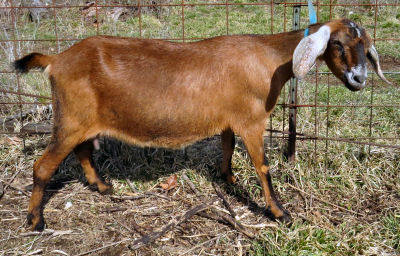 fresh goat milk producer Nubian doe High Reaches Juliette's Lydia