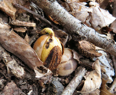sprouting acorns are a promise of spring