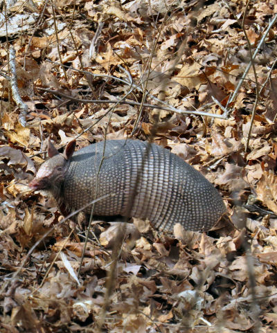 armadillos need a promise of spring with abundant grubs to eat