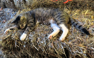 Cloudy Cat sleeping on hay bale