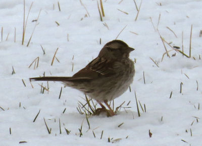 Snowfall number five buries sparrow's food