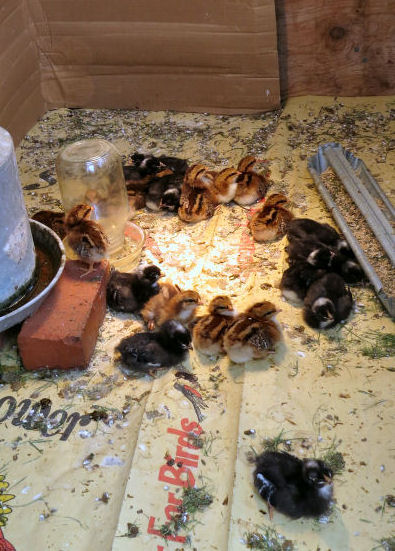 raising chicks in the chick house