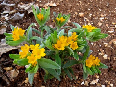 yellow spring finery orange puccoon
