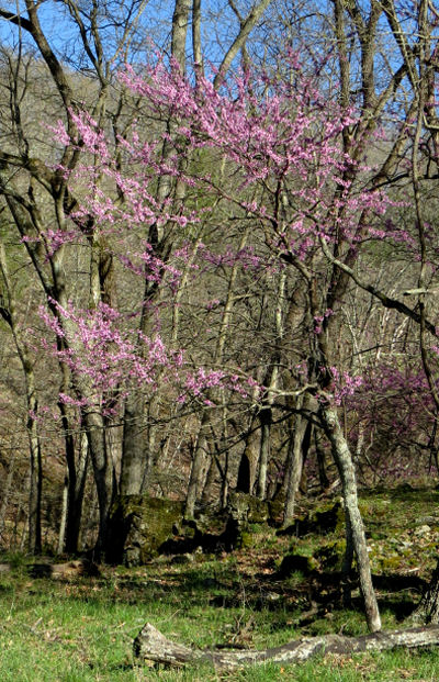 redbuds are pink spring finery