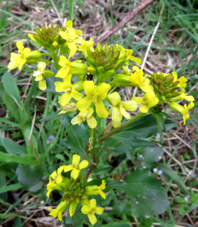 wild cresses include yellow rocket