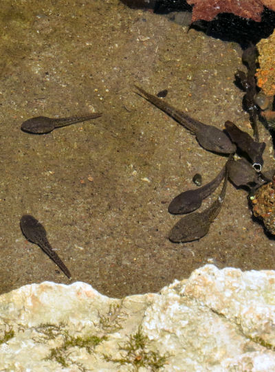 tadpole time includes bullfrogs in the creek