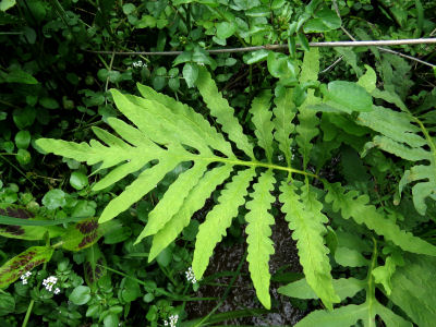 sensitive fern frond