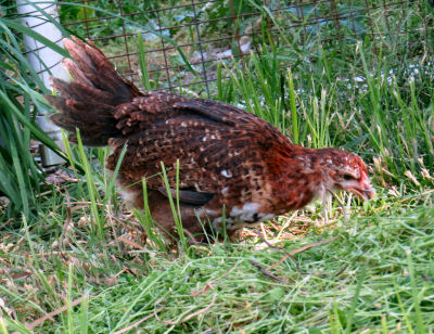feathered out Speckled Sussex chick