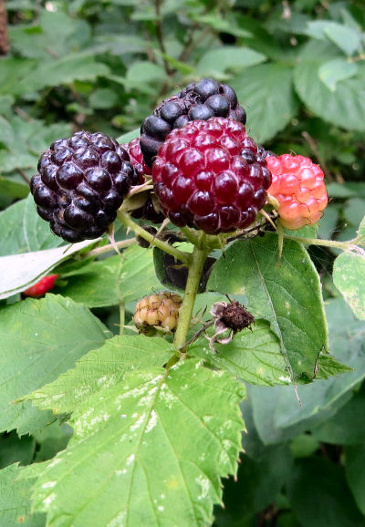 summer berry time begins with raspberries