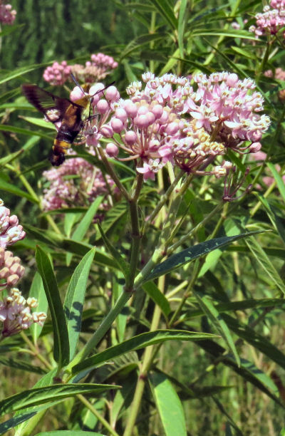 Clear Wing Hawk Moth sips nectar from swamp milkweed flowers