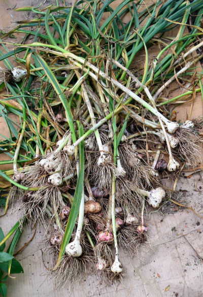 getting ready for winter needs a garlic supply