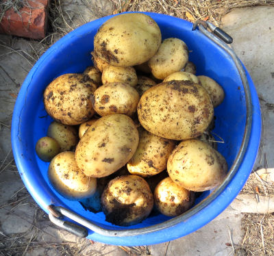 getting ready for winter needs a potato supply