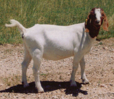 drawing goats means knowing meat from dairy characteristics