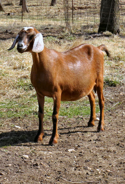 dairy goats are different
