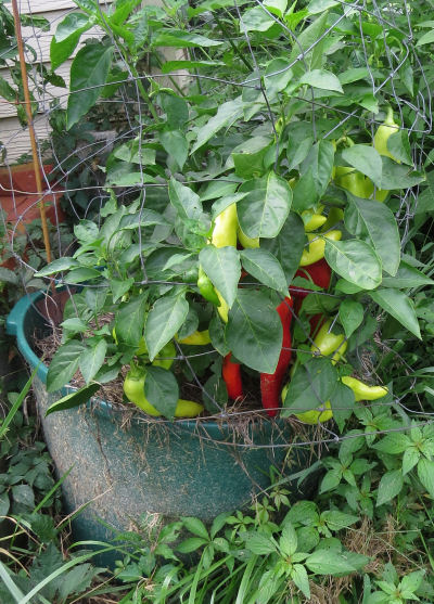 Macedonian pepper Aivar provides container bounty
