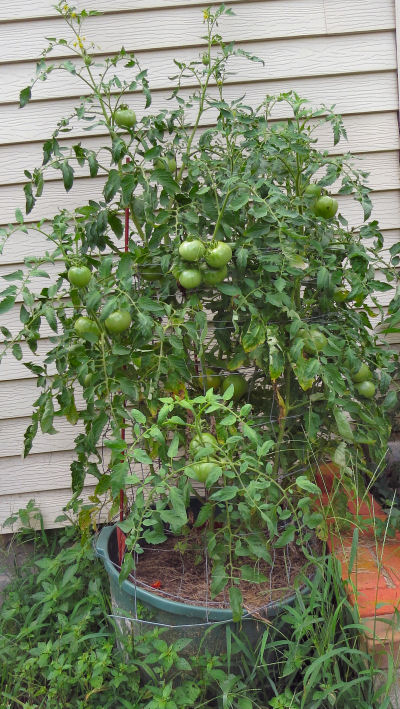 Abraham Lincoln tomatoes show container bounty