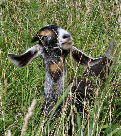 blind goat listening for herd