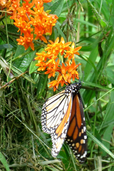 Fall Monarch butterfly migration brings butterflies