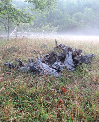 old stumps in misty meadows