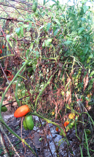 tomato plants on shade house
