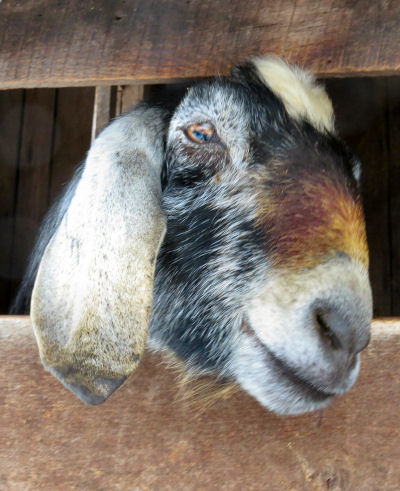 Nubian goat perspectives