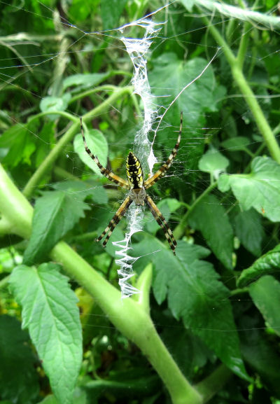 garden spider great for spider watching