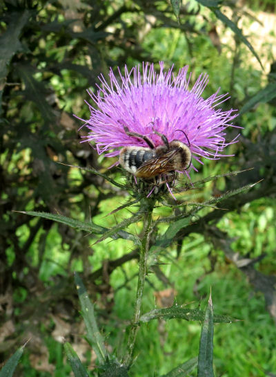 bumblebee on bull thistles