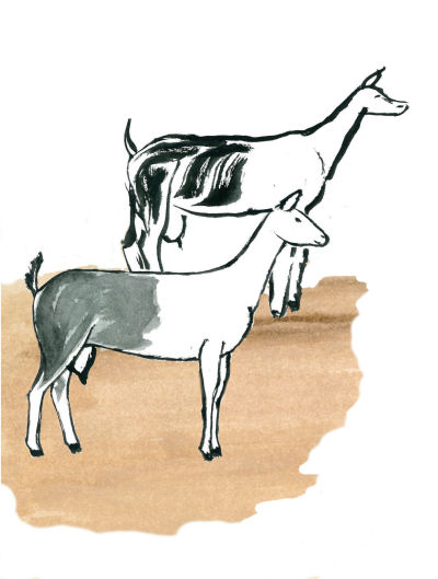 goat illustrations of Alpines