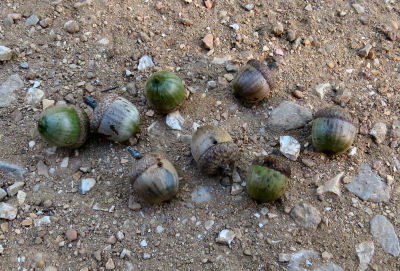 acorns valuable wild harvest