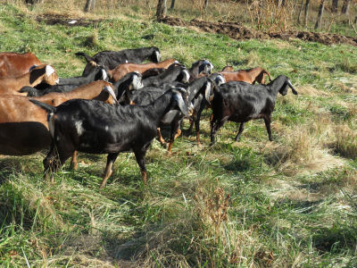 goat herd leaving