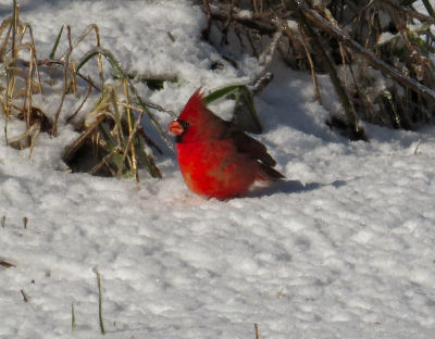 winter cardinals show up against the snow