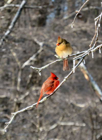 cardinal pair waiting to eat at the feeder
